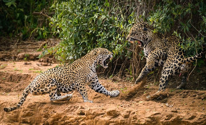 Amazing Extreme Nature Top 50 Awesome Animal Attacks Stock Photos Ever  (9)