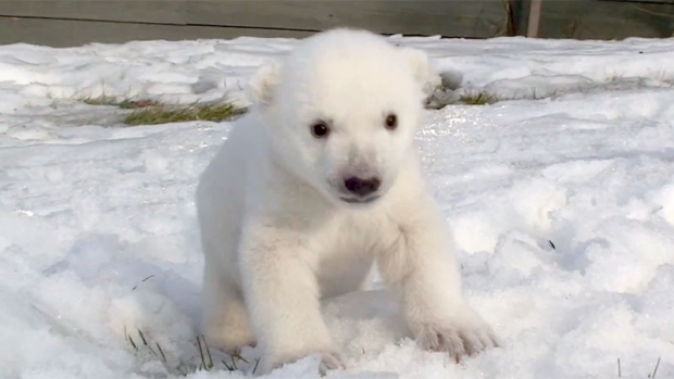 Baby Polar Bear Viewing Snow For First Time Is Adorable