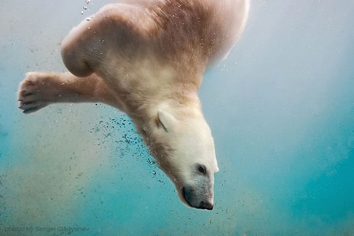 Cute Polar Bear Family Stock Photos By Sergei Gladyshev 3
