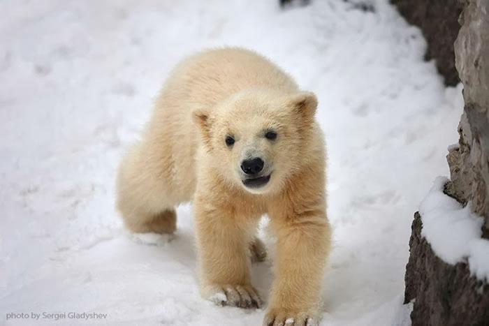 Cute Polar Bear Family Stock Photos By Sergei Gladyshev