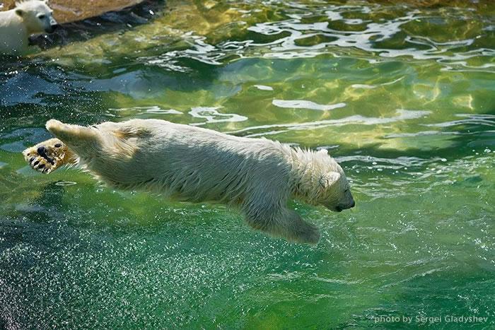 Dive of a young polar bear