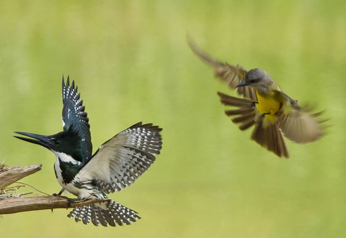 Extreme Nature Top 50 Awesome Animal Attacks Stock Photos Ever  (14)