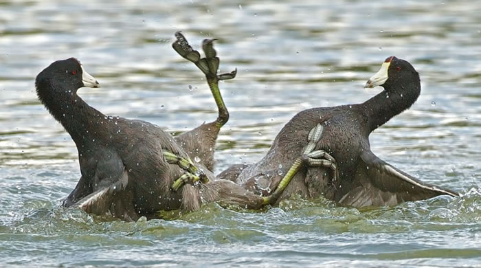 Extreme Nature Top 50 Awesome Animal Attacks Stock Photos Ever  (17)