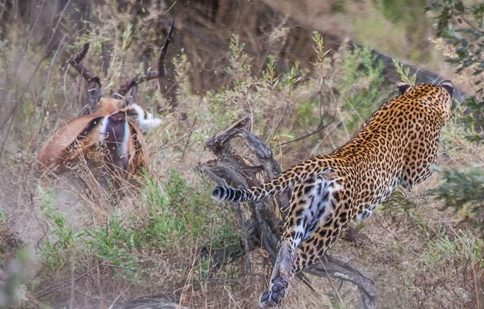 Extreme Nature Top 50 Awesome Animal Attacks Stock Photos Ever  (2)