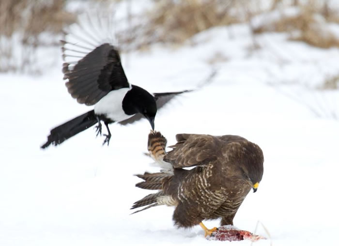 Extreme Nature Top 50 Awesome Animal Attacks Stock Photos Ever  (9)