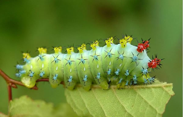 Online Photo Album Of The 20 Strangest Caterpillars In The World (11)