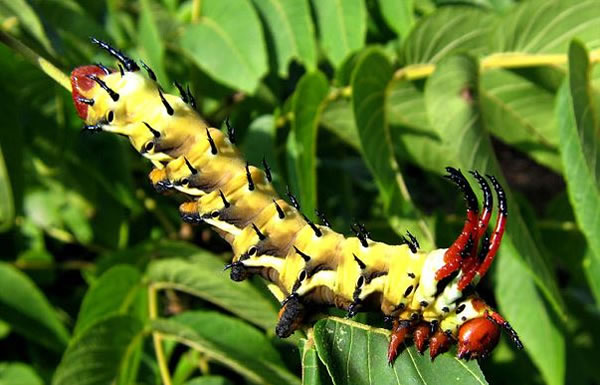 Online Photo Album Of The 20 Strangest Caterpillars In The World (6)