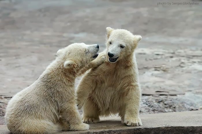 Two young siblings of polar bear are telling baby stories