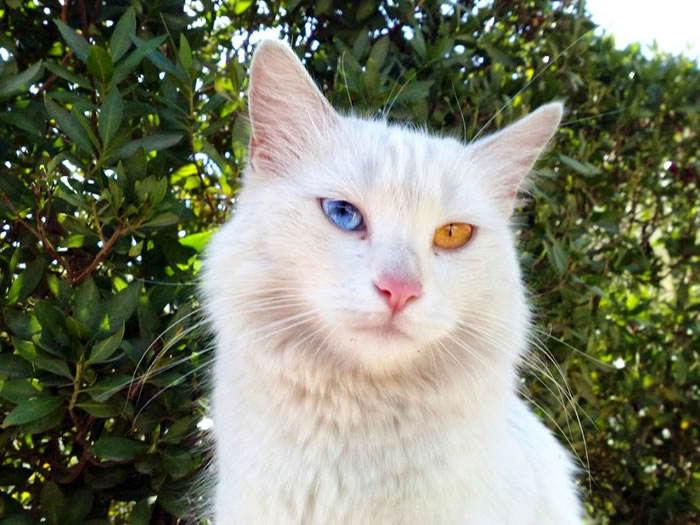 8. Turkish Van Cat