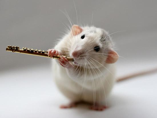 Amazing Musical School For Talented Rats (6)