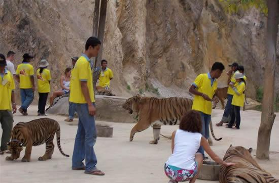Thailand Traveling Pet The Tigers At Tiger Temple (5)