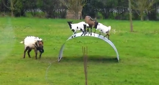 Video Of Farming Goats Playing On Bendy Board Goes Viral - farming goats