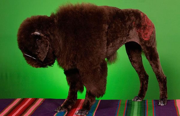 WTF Animal Grooming 25 Worst Pet Cuts Ever (5)