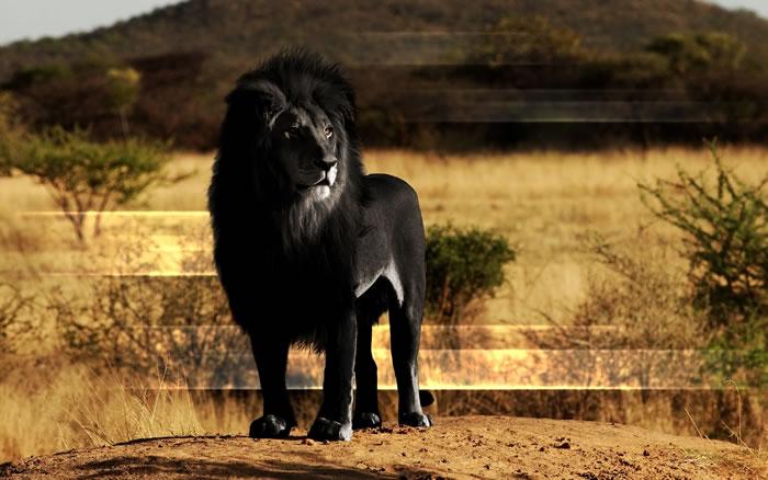 1 lion - Online Photo Books 21 Melanistic (All Black) Animals