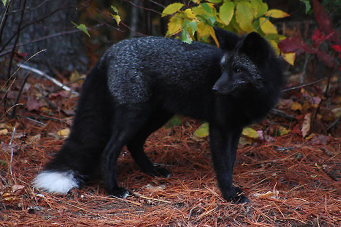 11 red fox - 21 Melanistic (All Black) Animals