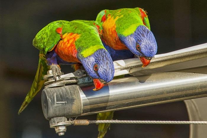 15. Rainbow Lorikeet - Sugar Lovers