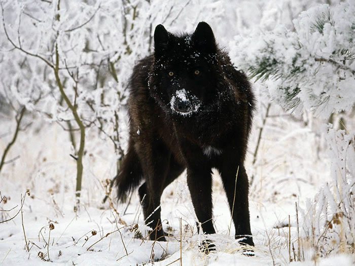 19 wolf - 21 Melanistic (All Black) Animals