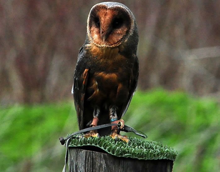 2 barn owl - Online Photo Books 21 Melanistic (All Black) Animals