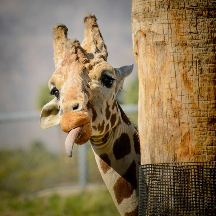 2. Giraffe Humour - Hilarious High Resolution Images Of Animals Making Funny Faces