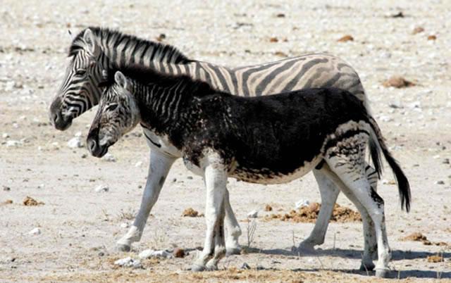 20 zebra - 21 Melanistic (All Black) Animals