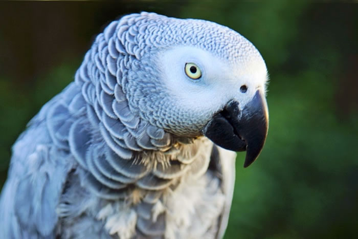 20. Tuner the African Grey Parrot