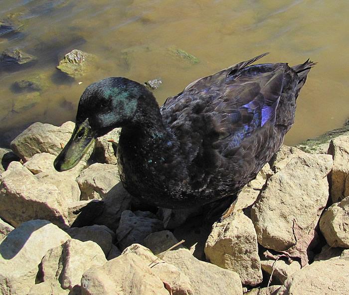 21 mallard duck - 21 Melanistic (All Black) Animals