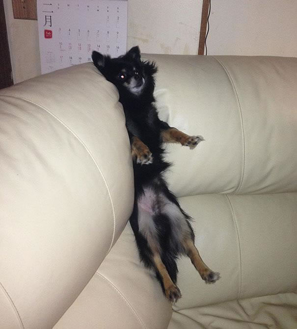 30 Cats And Dogs That Have No Idea How To Use House Furniture (21)