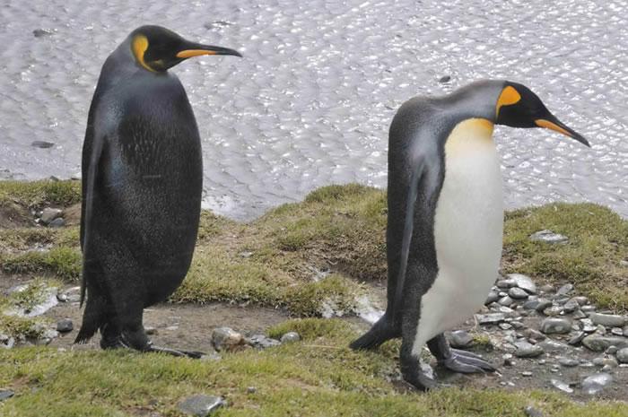 5 emperor penguin - Online Photo Books 21 Melanistic (All Black) Animals