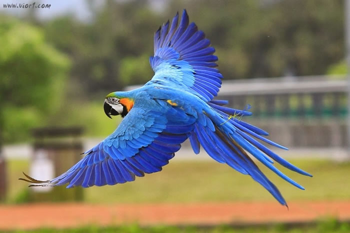 6. B&G Macaw