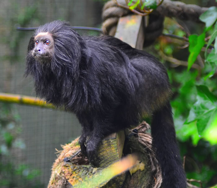 8 gold lion tamarin - Online Photo Books 21 Melanistic (All Black) Animals