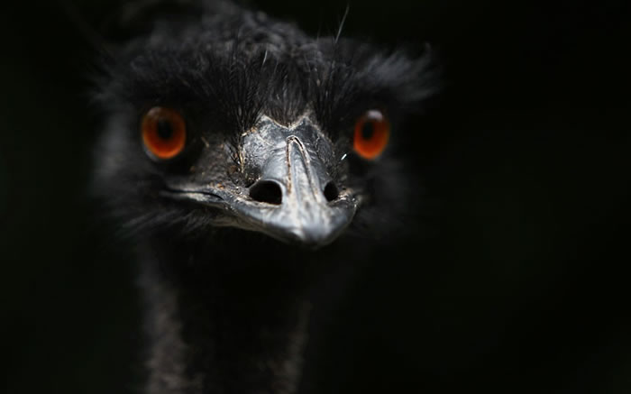 9 ostrich - 21 Melanistic (All Black) Animals