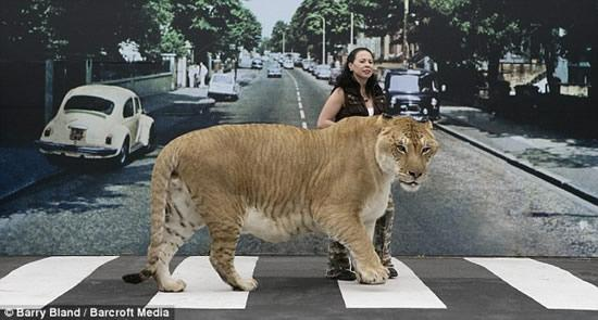 Imagine Cat Food Bill For Hercilues - Biggest Cat In The World (6)
