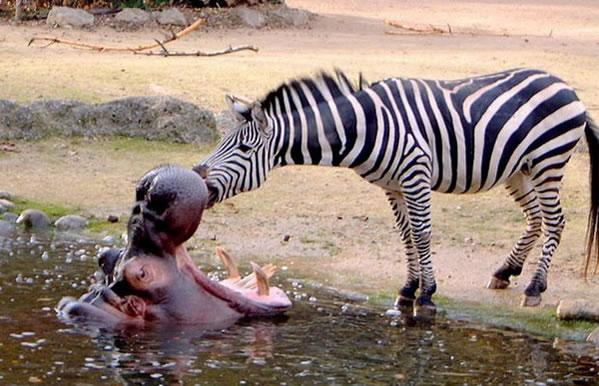 Zebra-dentis