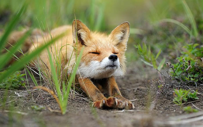 22 fox Pictures That Will Make You Love With These Bushy Tailed Animals (1)