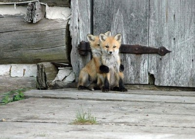 22 Pictures Of Foxes That Will Make You Love With These Bushy Tailed Animals (12)
