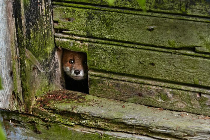 22 fox Pictures That Will Make You Love With These Bushy Tailed Animals (14)