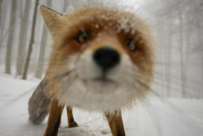 22 fox Pictures That Will Make You Love With These Bushy Tailed Animals (16)