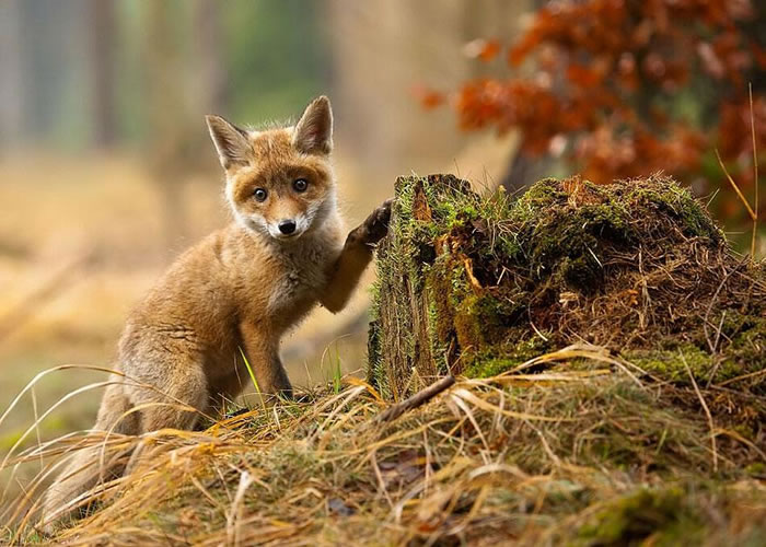 22 fox Pictures That Will Make You Love With These Bushy Tailed Animals(18)