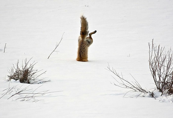 22 fox Pictures That Will Make You Love With These Bushy Tailed Animals(19)