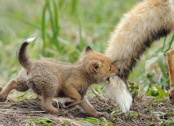 22 fox Pictures That Will Make You Love With These Bushy Tailed Animals (3)