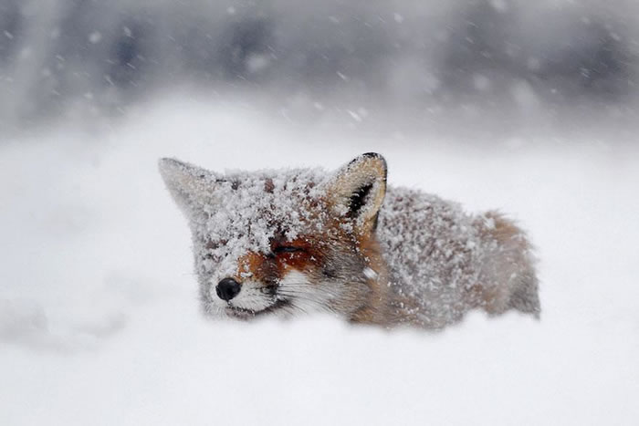 22 fox Pictures That Will Make You Love With These Bushy Tailed Animals (4)