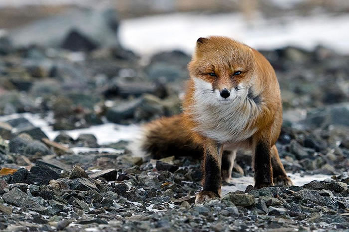 22 fox Pictures That Will Make You Love With These Bushy Tailed Animals (5)