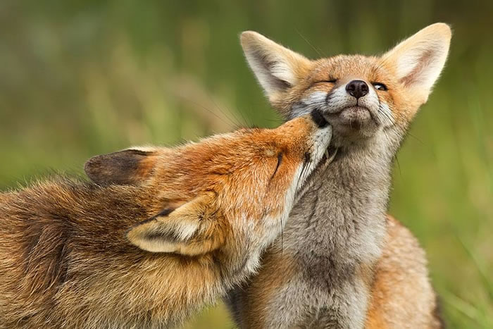 22 fox Pictures That Will Make You Love With These Bushy Tailed Animals (6)