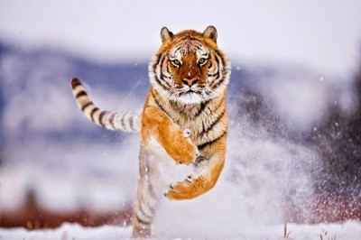 25 Spectacular Pictures Of Siberian Tigers In Their Natural Habitat