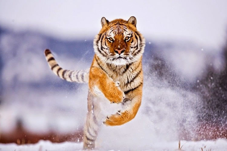 26 Spectacular Pictures Of Siberian Tigers In Their Natural Habitat  1