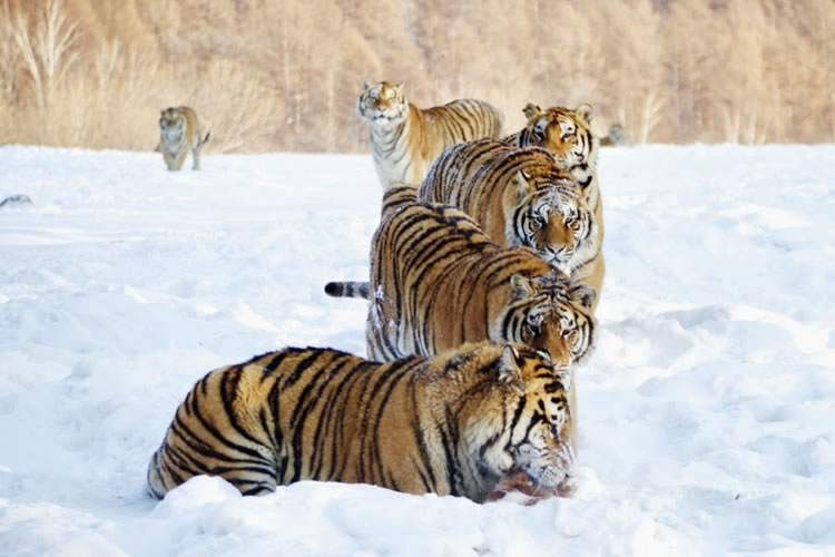 26 Spectacular Pictures Of Siberian Tigers In Their Natural Habitat  10