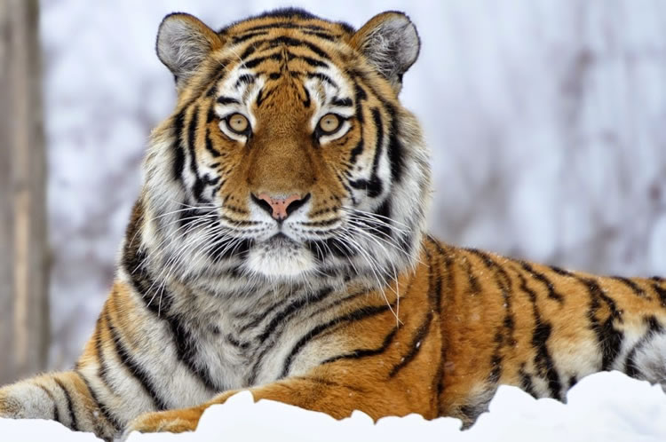 26 Spectacular Pictures Of Siberian Tigers In Their Natural Habitat  11