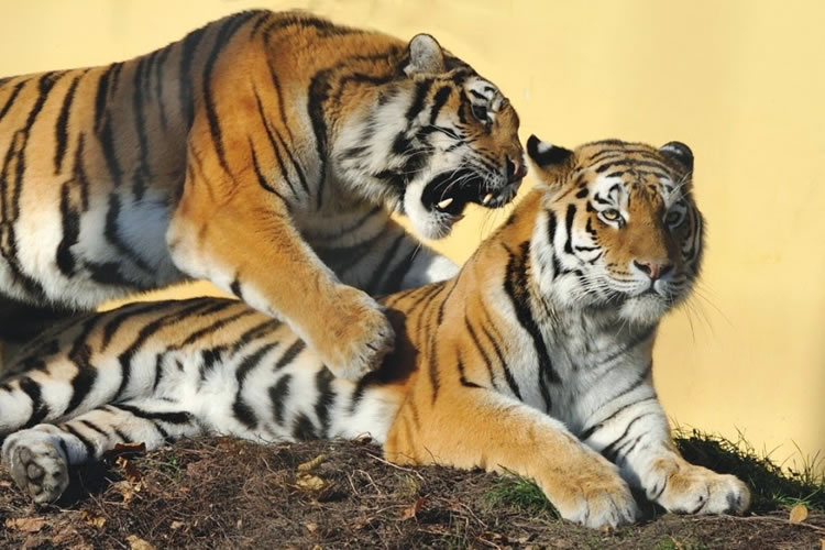 26 Spectacular Pictures Of Siberian Tigers In Their Natural Habitat  14