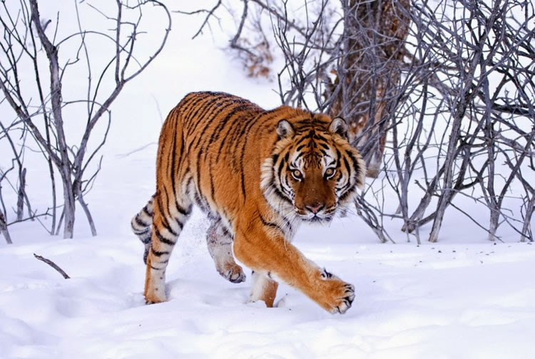 26 Spectacular Pictures Of Siberian Tigers In Their Natural Habitat  16