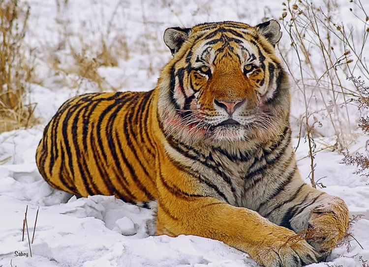 26 Spectacular Pictures Of Siberian Tigers In Their Natural Habitat  18